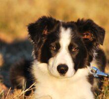 Border Collie puppy in nature Sticker