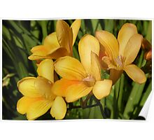 Freesia Spray Poster