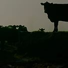 Cattle silhouette by Deborah McGrath