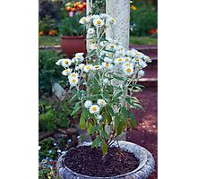 Potted Daisies Photographic Print