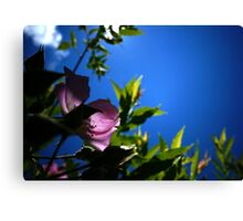 Back-lit Pink Beach Rose  Canvas Print
