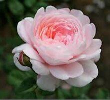 """La Fleur Rose"" by XToTheE"