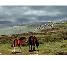 Wild Ponies, Dartmoor, Devon, England....! Photographic Print