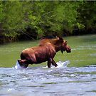 River Crossing Moose by NaturePrints
