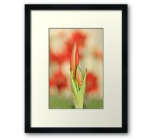 Hippeastrum Flower - Beautiful Red Romance Framed Print