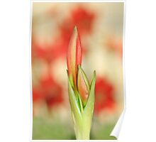 Hippeastrum Flower - Beautiful Red Romance Poster