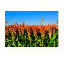 Fields Of Sorghum At Sunset Art Print