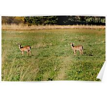 White-tailed Deer Poster