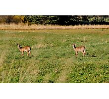 White-tailed Deer Photographic Print