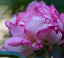 dried rose in the garden by spetenfia