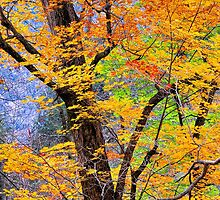 MAPLE TREES, AUTUMN by Chuck Wickham