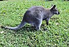 Wallaby by Margaret Stevens