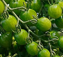 green tomatoes by Manon Boily