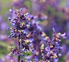 Lavender Flowers by Vicki Field