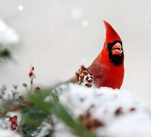 Northern Cardinal by Christina Rollo