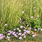 Prairie Morning Glories by Navigator