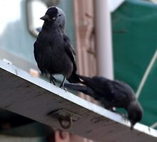 2 Inner City Jackdaws Above a Grocer Shop in Newport South Wales. by - nawroski -
