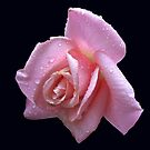 Raindrop Jewels on a Pink Rose by BlueMoonRose