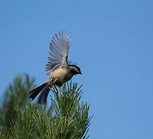 Nuthatch by Halobrianna