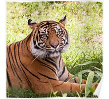 Watching Tiger Poster