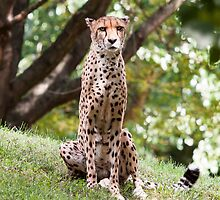 The Watching Cheetah by LindaNee