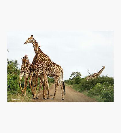 COMEPTITION - GIRAFFE – Giraffa Camelopardalis (KAMEELPERD) Photographic Print