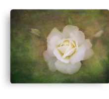 The delicate harmony of a rose Canvas Print