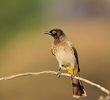 Red-eyed Bulbul - African Wild Bird - Perch of Color by LivingWild