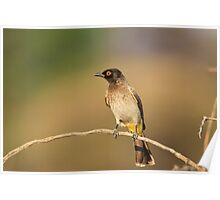 Red-eyed Bulbul - African Wild Bird - Perch of Color Poster