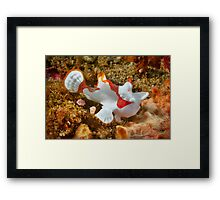 Clown Frogfish, Lembeh Strait Framed Print