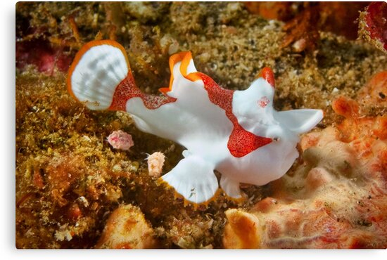 Clown Frogfish, Lembeh Strait by Dieter Tracey