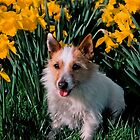 Jack Russell with Daffodils by Kawka