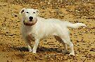Jack Russell at the beach by Kawka