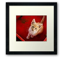 Young cat in box close up Framed Print