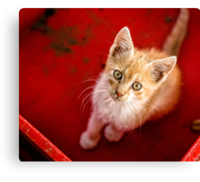 Young cat in box close up Canvas Print