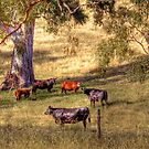 Summer Grazing - Kanmantoo, Adelaide Hills, SA by Mark Richards