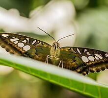 Butterfly - LightWings by ncp-photography