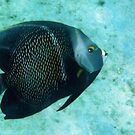 French Angel Fish by Kasia-D