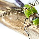 Dragonfly by Cara Merino