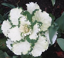 ORNAMENTAL CABBAGE by Colleen2012