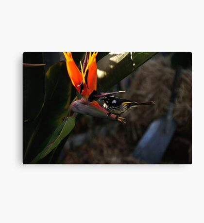 Honey Eater Canvas Print