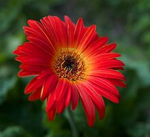 Late Bloom African Daisy by StarryGardens