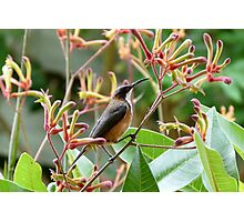 Eastern Spinebill & Kangaroo Paws Photographic Print