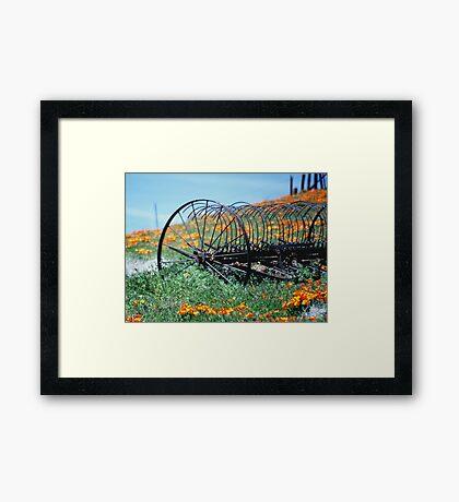 Californa Poppys Framed Print