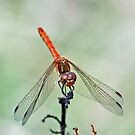 Male Common  Darter by Russell Couch
