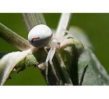 Misumena vatia Photographic Print