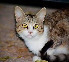 Calico cat by missmoneypenny