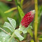 Wildflower - Crimson Clover - Trifolium incarnatum by MotherNature