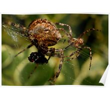 Garden Spider male approaches female Poster