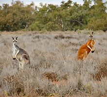 Red Kangaroos by Dilshara Hill